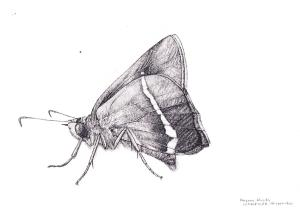Hasora khoda, Lepidoptera: Hesperiidae illustration by Andrew Aitkins