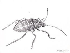 Hemiptera:Heteroptera (juvenile) illustration by Andrew Atkins