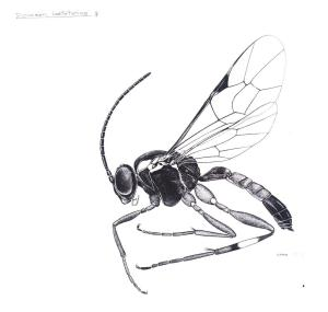 Diplazon Laetetorius (female) illustration by Andrew Aitkins